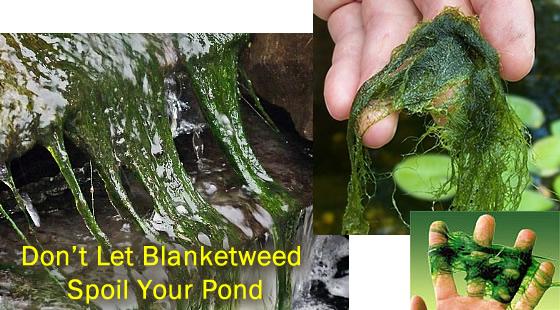 Garden Pond Blanketweed